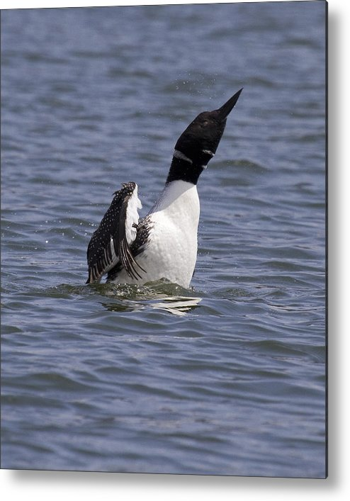 Metal Print featuring the photograph Common Loon 76 by Eric Mace