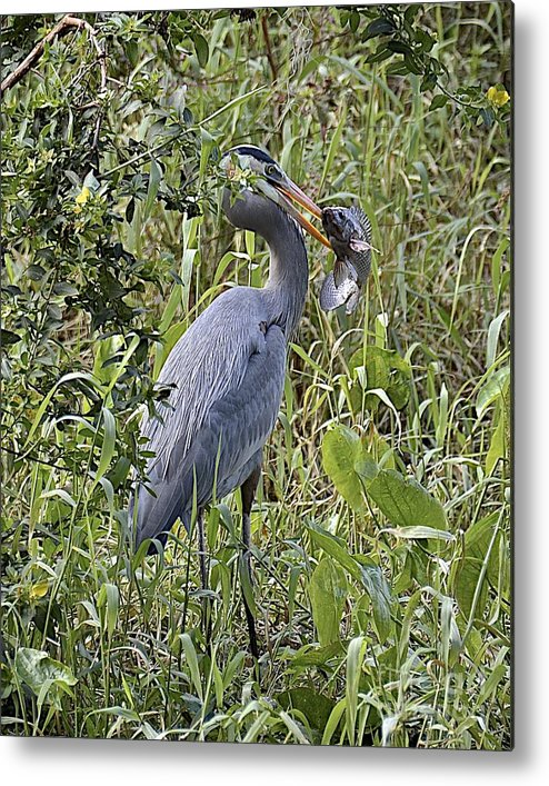 Heron Metal Print featuring the photograph Fish Dinner by Carol Bradley