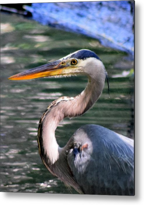 Blue Heron Art Metal Print featuring the photograph Great Blue Heron Whiskers by Sheri McLeroy