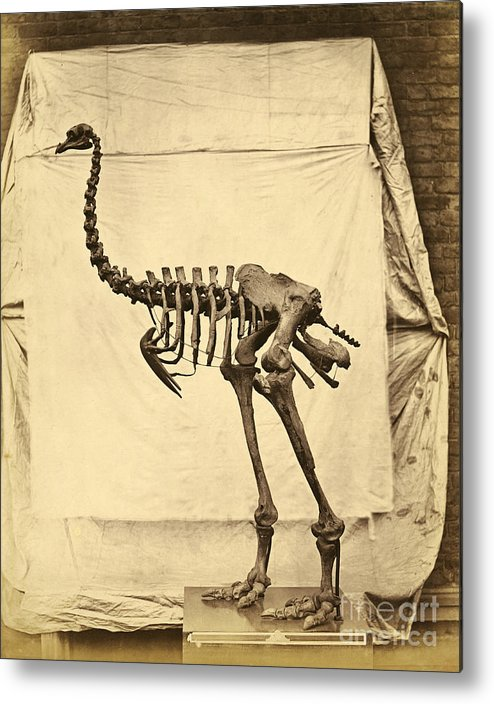 Moa Metal Print featuring the photograph Heavy Footed Moa Skeleton by Getty Research Institute
