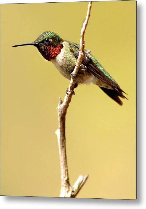 Bird Metal Print featuring the photograph Hummingbird Resting by J Brett Whitesell