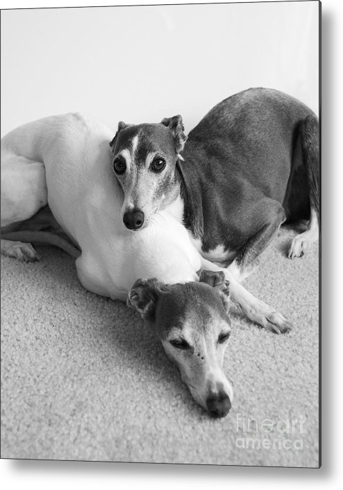 Greyhounds Metal Print featuring the photograph Napping Greyhounds by Kate Sumners