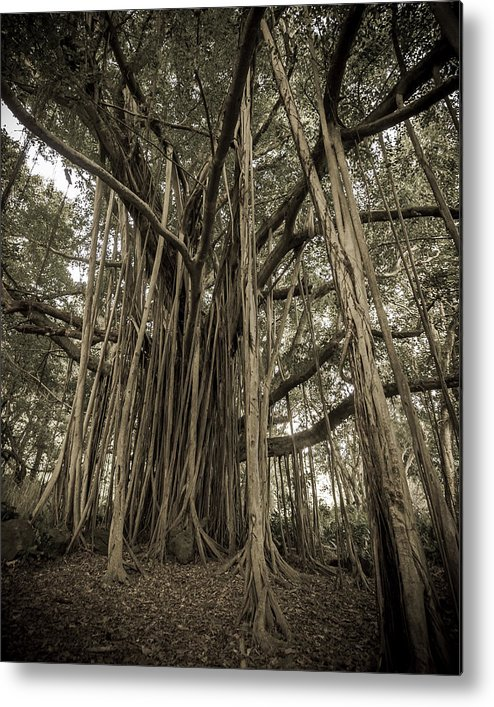 3scape Photos Metal Print featuring the photograph Old Banyan Tree by Adam Romanowicz