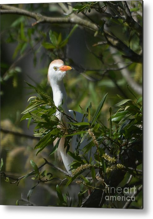 Cattle Egret Metal Print featuring the photograph Peeking Cattle Egret by Kathy Baccari