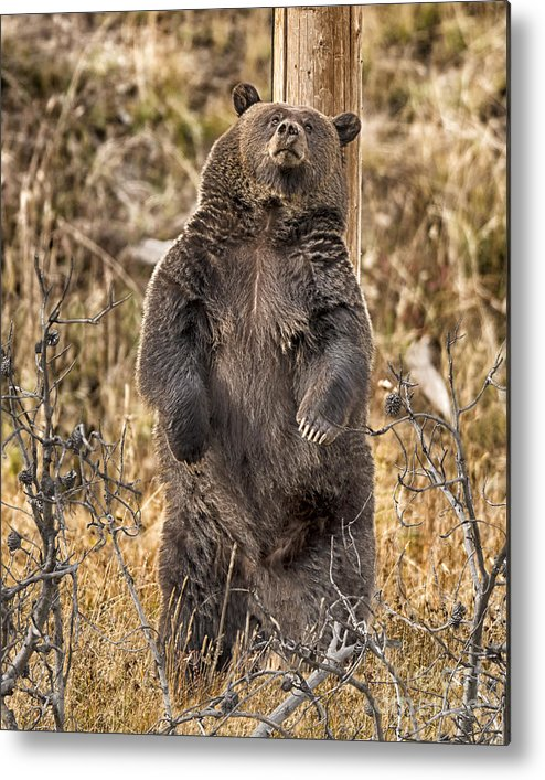 Grizzly Metal Print featuring the photograph Pole Dancer Vii by Donna T