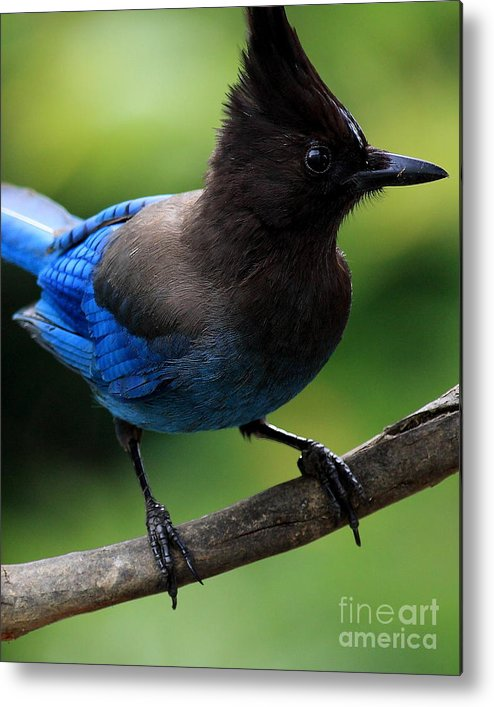 Bird Metal Print featuring the photograph Stellers Jay by Wingsdomain Art and Photography