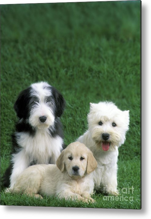Dogs Metal Print featuring the photograph Three Diffferent Puppies by Jean-Michel Labat