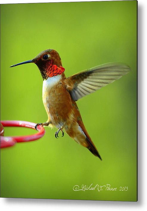 Rufous Metal Print featuring the photograph Tiptoes Touchdown by Michael W Penner