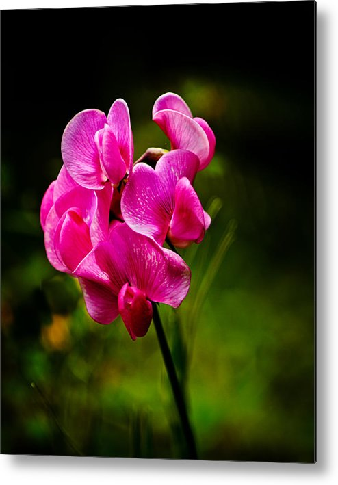 Lathyrus Odoratus Metal Print featuring the photograph Wild Pea Flower by Robert Bales
