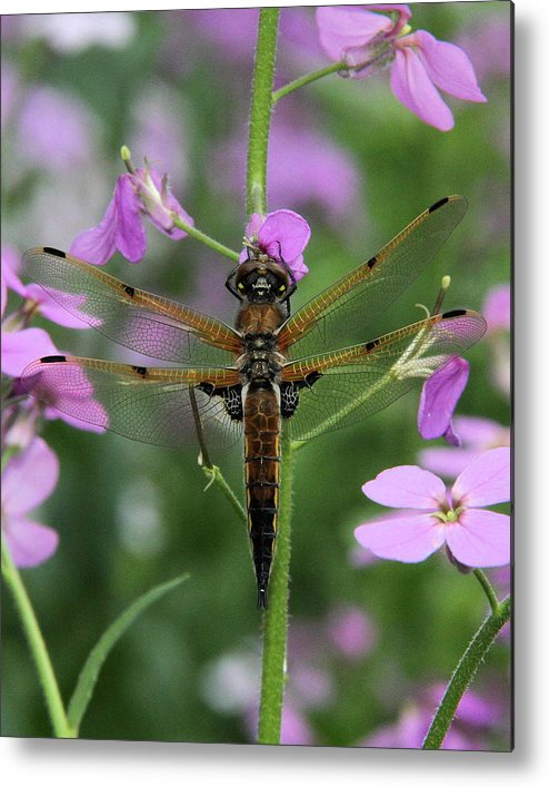 Four-spotted Skimmer Metal Print featuring the photograph Four-spotted Skimmer by Doris Potter