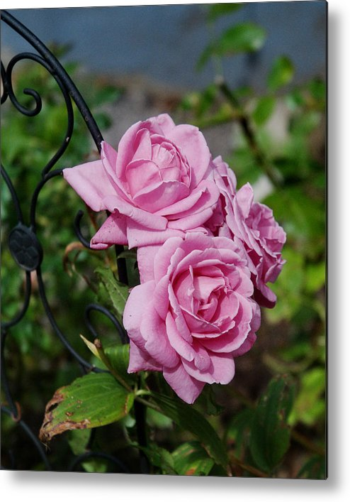 Autumn Metal Print featuring the photograph Autumn Roses by Barry Doherty