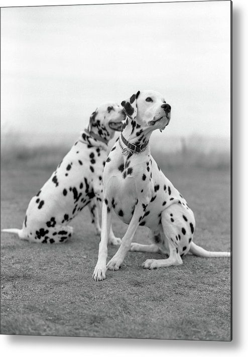 Vertical Metal Print featuring the photograph Dalmatians by Tadas Kazakevicius Copyrigted