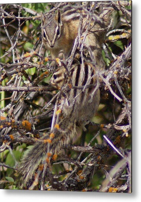 Chipmunks Metal Print featuring the photograph Dos Munks by Ben Upham III