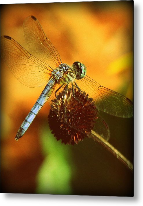Dragonfly Photographs Metal Print featuring the photograph Dragonfly On A Dried Up Flower by Tam Graff