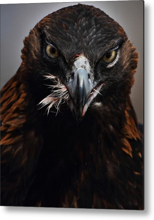 Vertical Metal Print featuring the photograph Golden Eagle Feeding by Pat Gaines