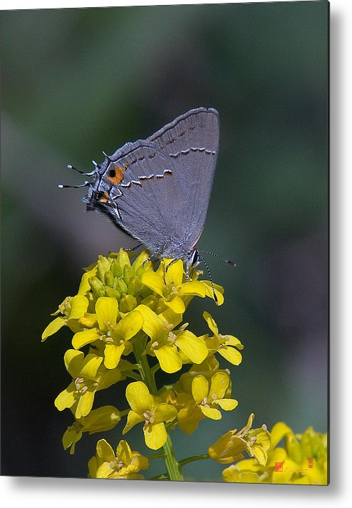 Nature Metal Print featuring the photograph Gray Hairstreak Butterfly Din044 by Gerry Gantt