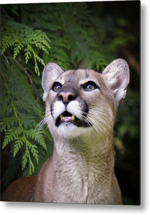 Cougar Metal Print featuring the photograph Looking Up by Steve McKinzie