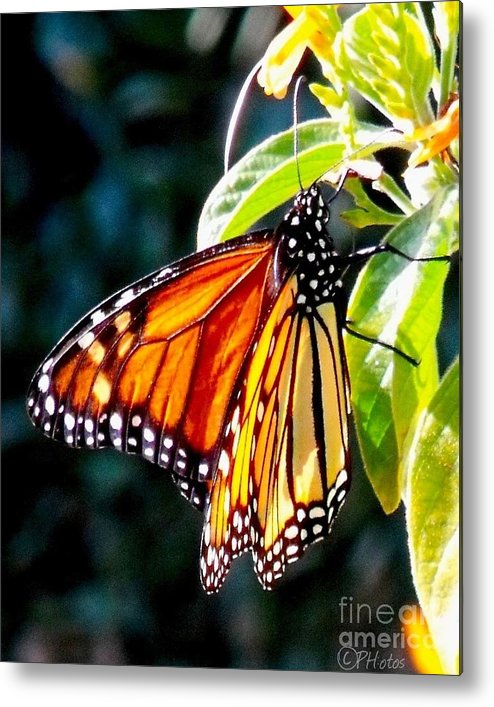 Butterfly Metal Print featuring the photograph Monarch Butterfly by Phil Huettner