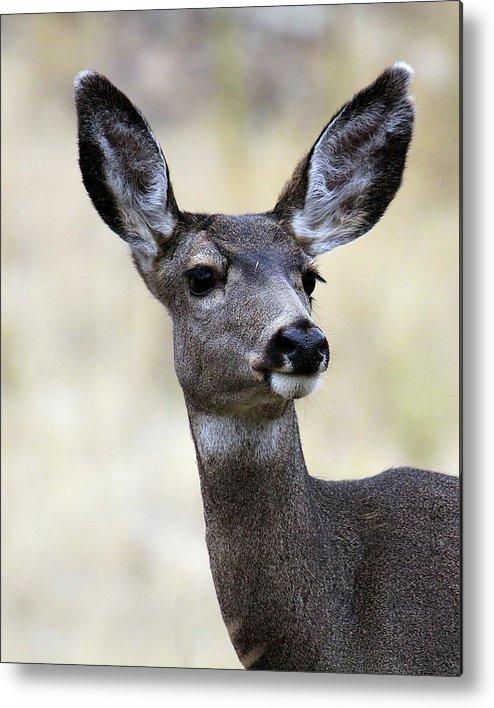 Mule Deer Metal Print featuring the photograph Mule Deer Doe by Steve McKinzie
