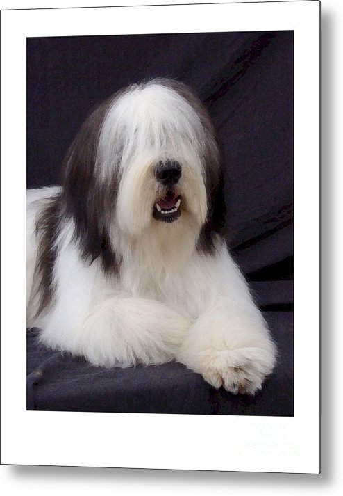 Old English Sheepdog Metal Print featuring the digital art Old English Sheepdog 406 by Larry Matthews