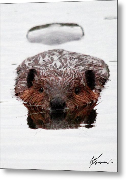 Beaver Swimming Metal Print featuring the photograph Reflections by Sarah Lalonde