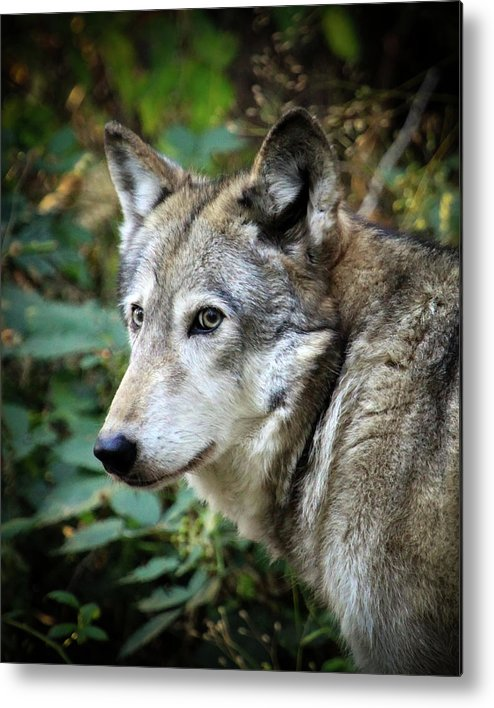 Wolf Metal Print featuring the photograph The Wolf by Steve McKinzie