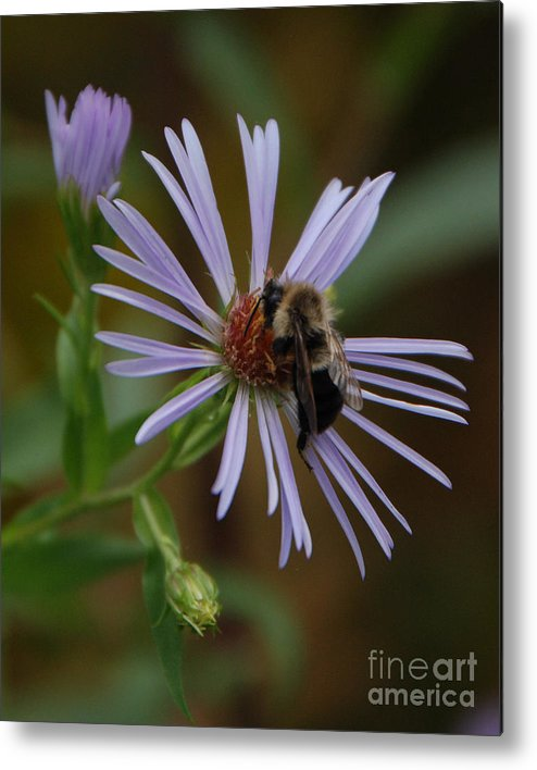 Purple Metal Print featuring the photograph Wildflower Bee by Grace Grogan
