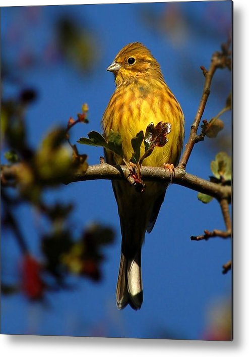 Yellowhammer Metal Print featuring the photograph Yellowhammer by Gavin Macrae