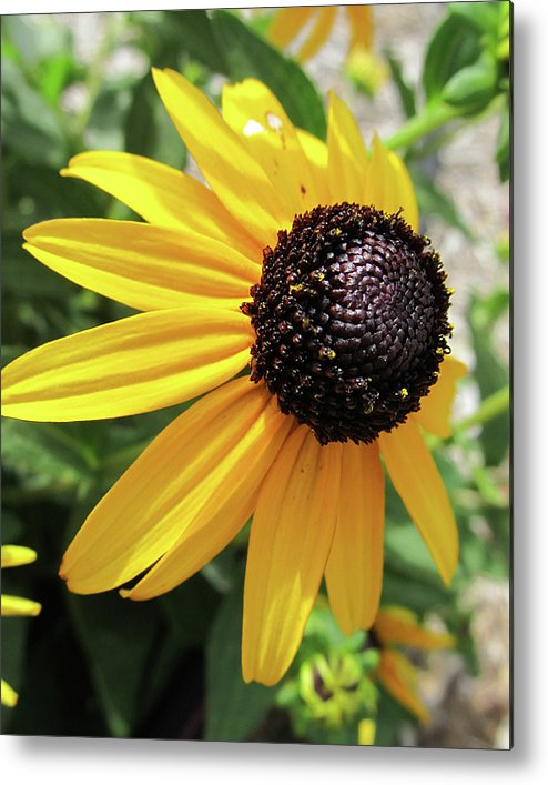 Flowers Metal Print featuring the photograph Black-eyed Susan by Michele Caporaso