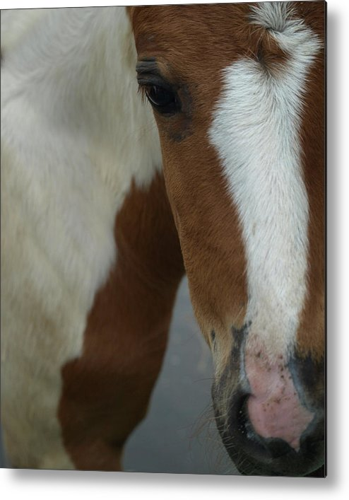 Pinto Metal Print featuring the photograph Curious Foal by Kim
