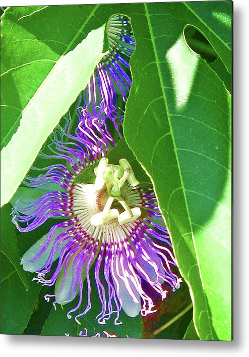 Purple Metal Print featuring the photograph Hidden Passion by Juliana Blessington