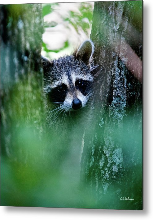 Racoon Metal Print featuring the photograph On Watch by Christopher Holmes