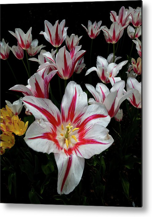 Nature Metal Print featuring the photograph Tulips by Robert Ullmann