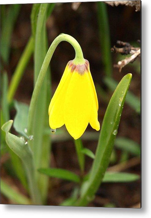 Flower Metal Print featuring the photograph A Yellow Bell's Tear by DeeLon Merritt