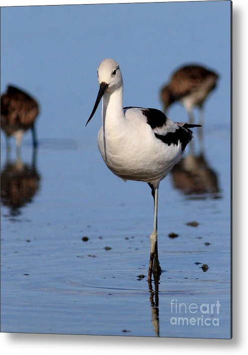 Bird Metal Print featuring the photograph American Avocet . 7d4869 by Wingsdomain Art and Photography