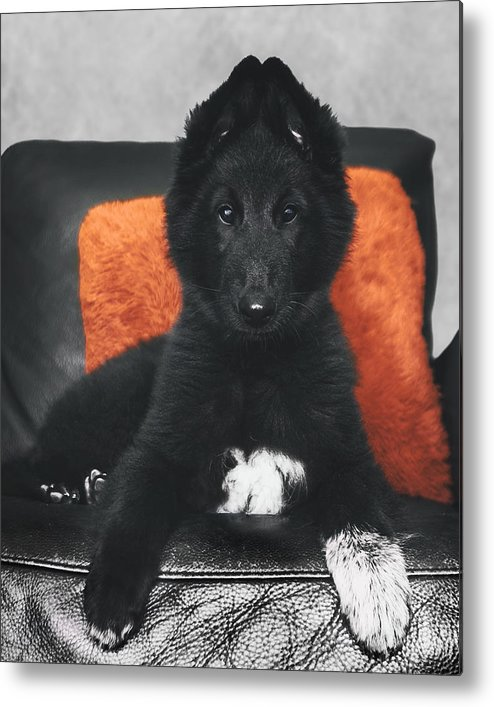 Belgian Sheepdog Puppy Metal Print By Wolf Shadow Photography