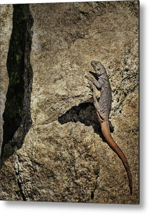 Lizard Metal Print featuring the photograph Chuckwalla - Crevice by Nikolyn McDonald