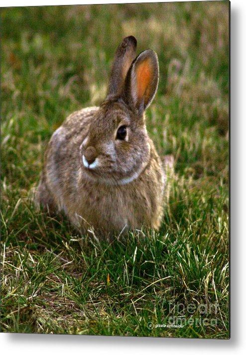 Art Metal Print featuring the photograph Cottontail Bunny ... Montana Art Photo by GiselaSchneider MontanaArtist