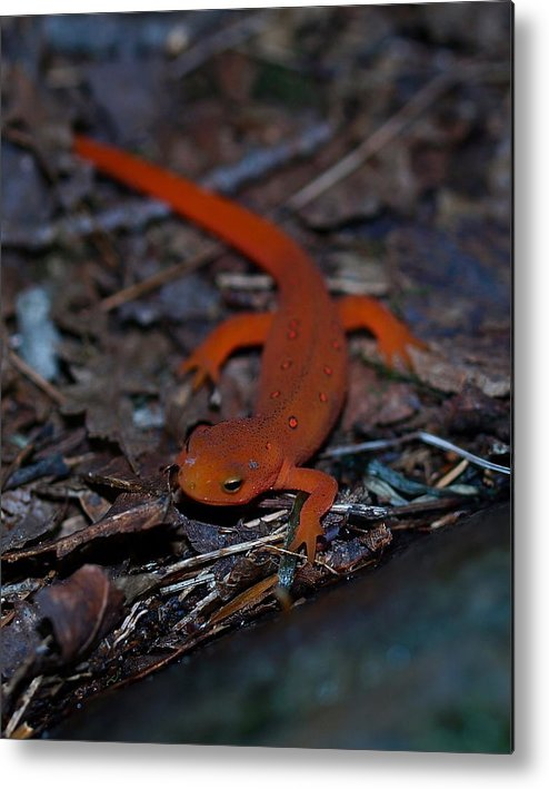 Reptiles Metal Print featuring the photograph Curious Eft by Peter Gray