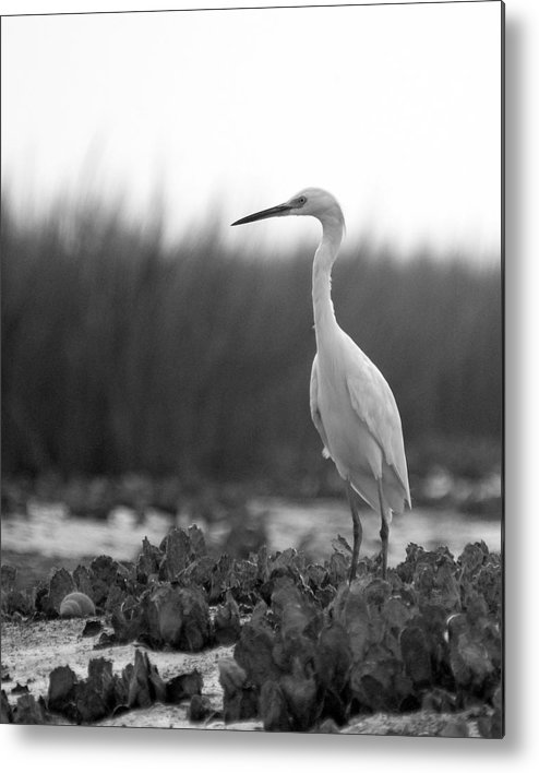 Egret Metal Print featuring the photograph Egret Grazing by William Haney