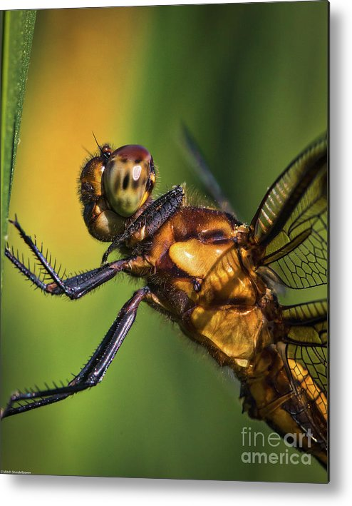 Eye To Eye Dragonfly Metal Print featuring the photograph Eye To Eye Dragonfly by Mitch Shindelbower