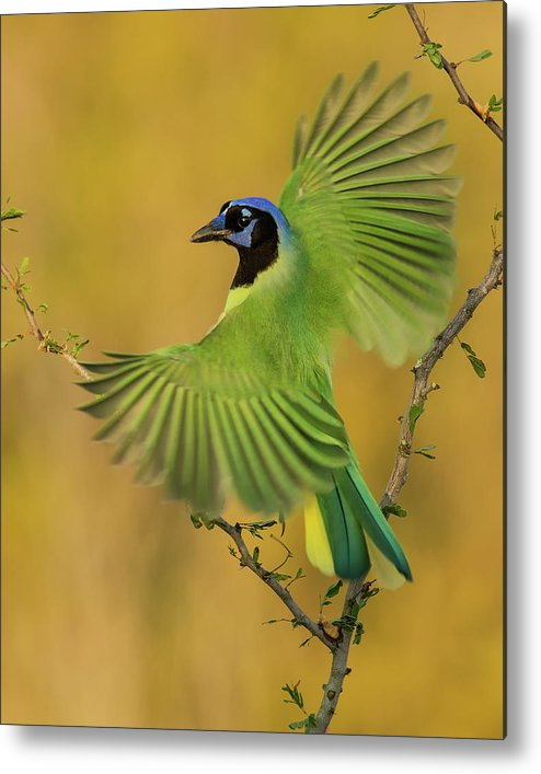 Green Jay Metal Print featuring the photograph Fan Dancer by Christopher Ciccone