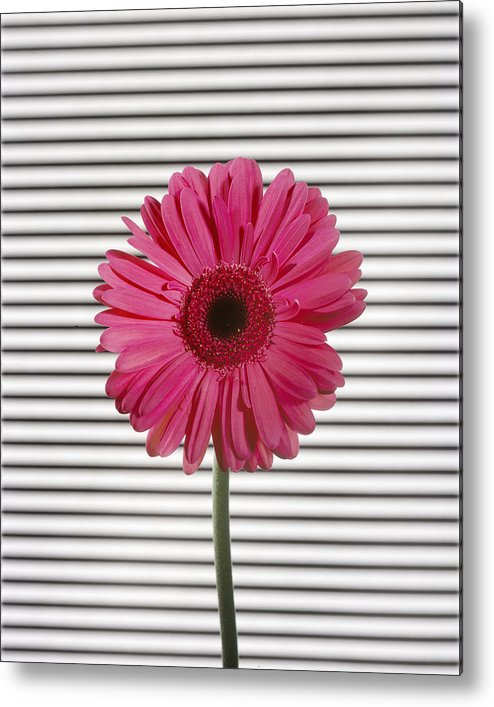 Gerber Daisy Metal Print featuring the photograph Flower With Lines by Jessica Wakefield