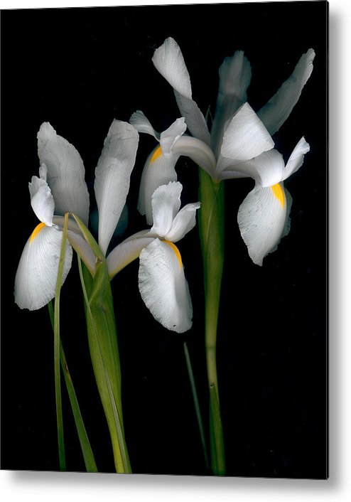 Iris Flowers Metal Print featuring the pyrography Flying Irises 2 by David Hendrickson