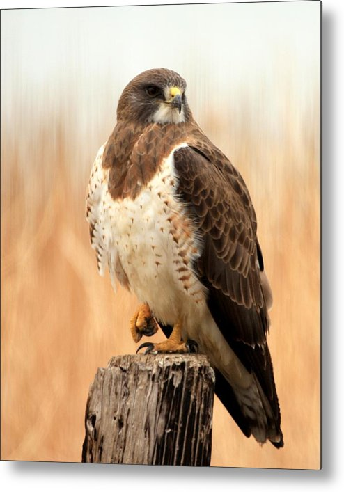 Raptor Metal Print featuring the photograph Gonna Punch You by Ray K