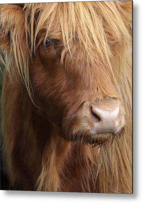 Animal Metal Print featuring the photograph Highland Cow by Kevin Sean Oconnell