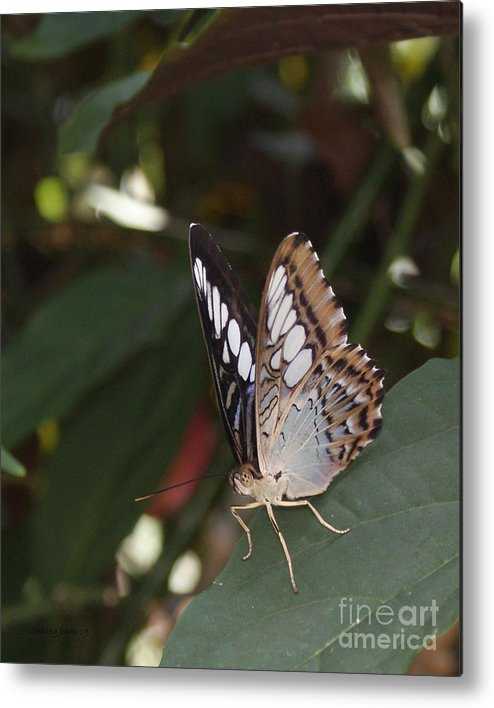 Butterfly Metal Print featuring the photograph Hints Of Blue by Shelley Jones