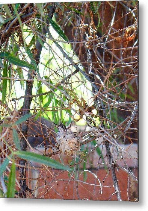 Hummingbird Babies Metal Print featuring the photograph Hummingbird Babies by Kume Bryant