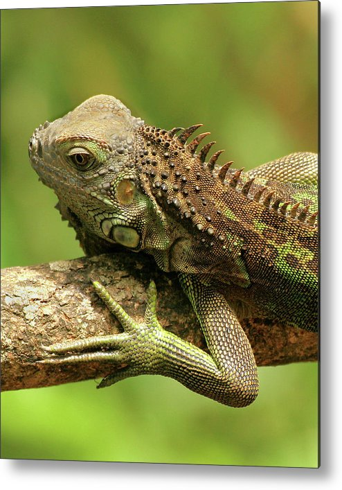 Iguana Metal Print featuring the photograph Iguana by Doris Potter