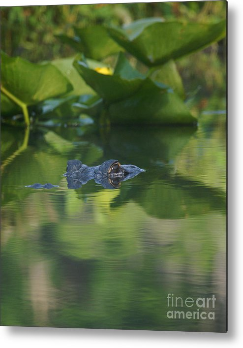 Mississipiensis Metal Print featuring the photograph Lurking At The Surface by Jack Norton